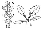 Plant parts of S. vulgaris: (A) typical leaf; (B) seedling.