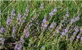 Mentha pulegium (pennyroyal); flowering plants