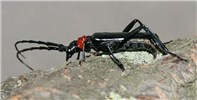 Aromia bungii (red necked longicorn); adult. Ovipositing female searching for shelter to lay eggs on trunk.