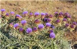 Cynara cardunculus (cardoon); flowering habit. Cobbler Creek, Adelaide, South Australia. December 2007