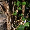 Hedera helix (ivy); rootlets on main stem.