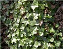 Hedera helix (ivy); complete ground cover with lobed leaves.