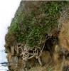 Hedera helix (ivy); large coastal plant with a stout trunk (ca.10cm diameter) growing over a small cliff.