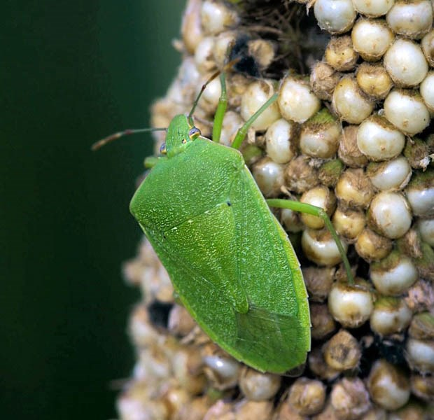 Nezara viridula (green stink bug); adult, on pearl millet (Pennisetum glaucum). USA.