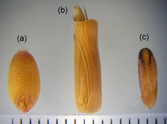 Caryopside of A. cylindrica (a): spikelet of A. cylindrica (b): caryopside of wheat (c).