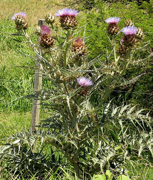 Cynara cardunculus (cardoon); flowering habit (as an invasive). Uruguay.