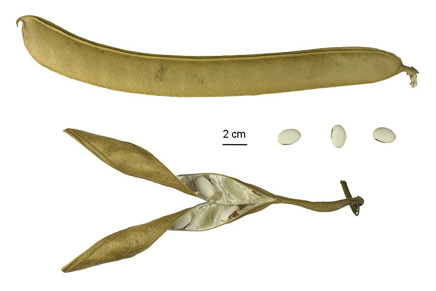 Canavalia ensiformis (jack bean); dried pods and seeds, 'jack beans'. Museum specimen. Note scale.