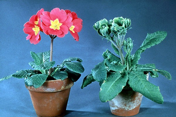 Candidatus Phytoplasma asteris (yellow disease phytoplasmas); healthy plant (left) and AY- infected plant of Primula, showing yellowing, virescence and dwarfed flowers.