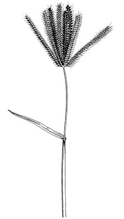 Inflorescence terminal, composed of a whorl of 5-15 digitate spikes which are densely clustered.