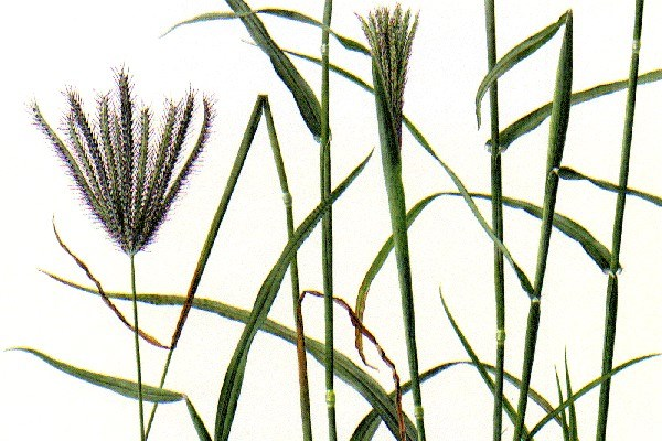 A tufted, erect, annual or short-lived perennial grass, 0.3-1.0 m or more tall.