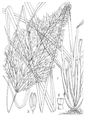 1) flowering plant; 2) ligule; 3) spikelet.   Reproduced from the series 'Plant Resources of South-East Asia', Vols  1-20 (1989-2000), by kind permission of the PROSEA Foundation, Bogor,  Indonesia.