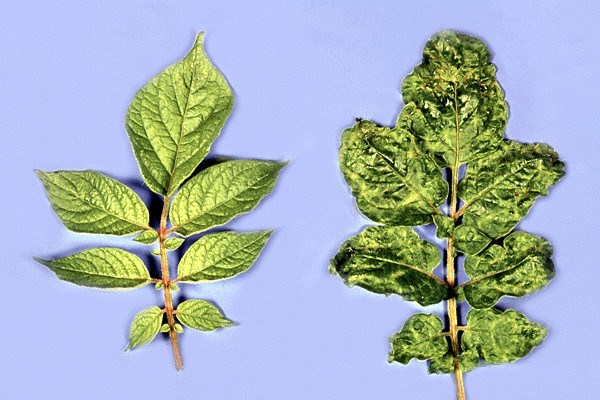 Symptoms on PVY-infected potato leaves; note leaf deformation.