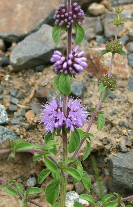 Mentha pulegium (pennyroyal); flower whorls and leaves