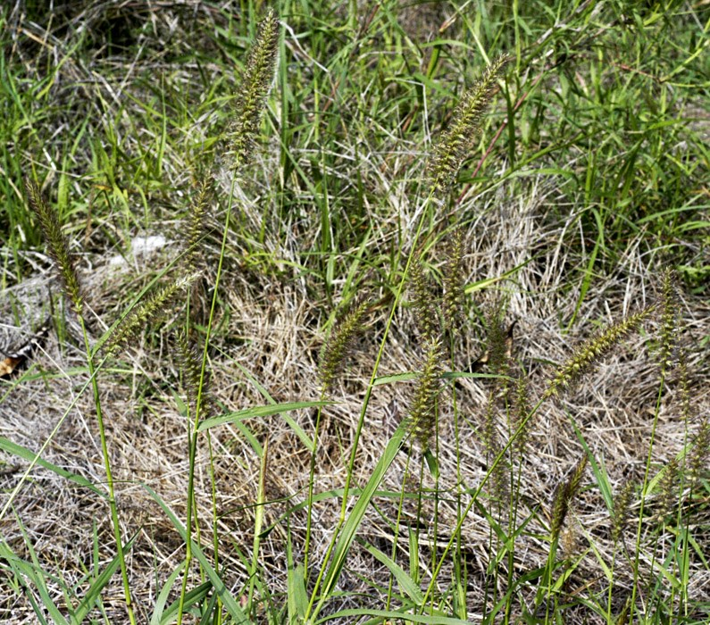 Cenchrus ciliaris (buffel grass); habit.