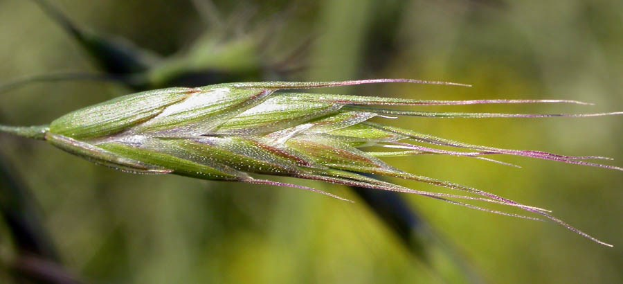 Bromus japonicus (Japanese brome); close-up of single spikelet. Spikelets comprise lemmas, with rounded backs (in cross section) and an awn that typically remains straight, or not curved outward, in a pronounced or distinctive manner. Bozeman, Montana, USA. June 2007.