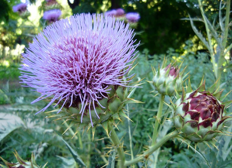 Cynara cardunculus (cardoon); close view of flowers. Real Jardín Botánico de Madrid. July 2008.