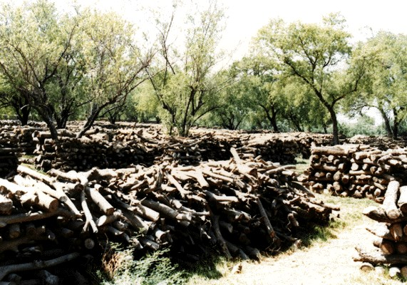 Fuelwood stacked in irrigated plantation in Pakistan.