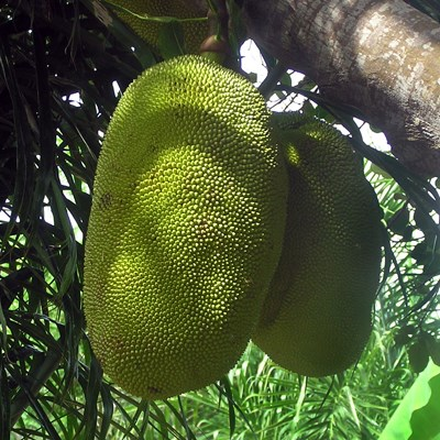 Jackfruits on tree, Madagascar.