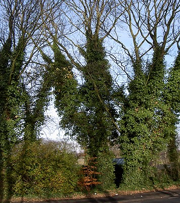 Hedera helix (ivy); large deciduous trees with trunks covered by ivy.