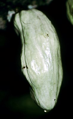 Cocoa pod infected at the young or cherelle stage, showing gross distortion due to hypertrophy and hyperplasia of internal tissues; ca. 4 weeks after infection.