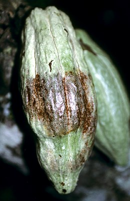 Irregular, chocolate-brown necrosis appearing on swollen or distorted cocoa pod ca 6-8 weeks after infection.