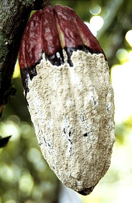 Brown, powdery spores developing on pseudostroma on maturing cocoa pod; infected 2-3 months previously.