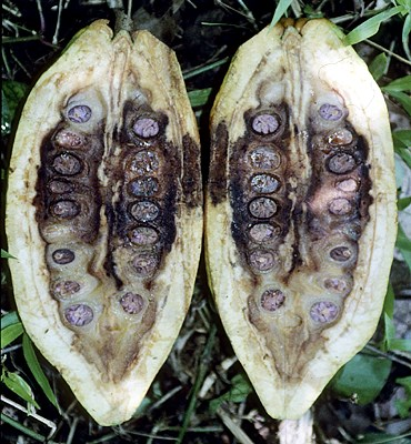 Internal symptoms in a cocoa pod with no external symptoms apart from irregular, premature ripening.  Note compacted, mucilaginous bean mass.