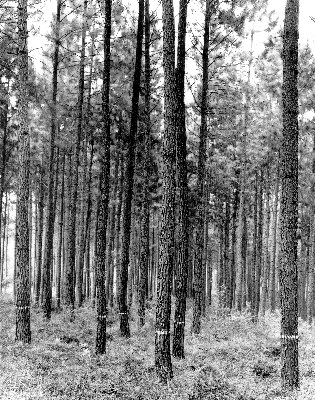 Plantation, Mountain Pine Ridge, Wilgeboom, Honduras.