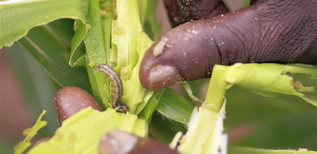 New report reveals cost of Fall Armyworm to farmers in Africa, provides recommendations for control