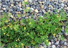 Medicago lupulina (black medick); habit, scrambling across a gravel pile. West Beach, Sand Island, Midway Atoll, Hawaii, USA. April 2015.