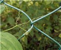 Lathyrus odoratus (sweet pea); tendrils on a wire-mesh fence.