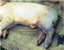 Many of the piglets in this PRRS outbreak had bruising without crushing by the sow.