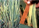 Typical symptoms of RYMV: yellow mottle or orange colouration, depending on the genotype.