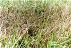 Field symptoms: a patch of dry leaves of a rice variety severely attacked by RYMV.