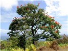 Spathodea campanulata (African tulip tree); flowering habit. Hana Hwy, Maui, Hawaii, USA. June 2009.