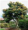 Spathodea campanulata (African tulip tree); flowering habit., yellow morph. Kula, Maui, Hawaii, USA. May 2009.