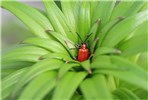 Lilioceris lilii (lily leaf beetle); adult in tip of a lily plant.