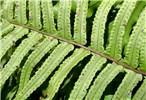 Nephrolepis hirsutula (sword fern); close view of frond lower surface. Note the small 'ear-lobe' at the base of each leaflet. Tonga. September 2007.