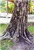 Spathodea campanulata (African tulip tree); trunk and bark.
