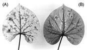 Red rimmed chlorotic spots (A) and veinbanding (B) in leaves of sweet potato cv. Brondal.