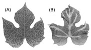 Chlorotic veinbanding in Ipomoea setosa graft inoculated with SPFMV: (A) acute symptom; (B) chronic symptom.