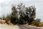 Trees in the Thal Desert, Pakistan, protecting a road from sand movement.