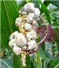 Ustilago zeae (common smut of maize); symptoms on corn cob in the field.