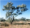 Tree habit of mature E. coolabah.  North of Bourke, NSW,  Australia.