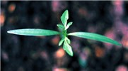 B. pilosa seedlings have lanceolate cotyledons. The first true leaf is similar to later leaves.