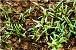 Emerging seedlings of B. pilosa in the field.
