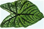 Systemic symptoms on Caladium hortulanum (greening of normally white leaf tissue, veinal darkening and feathering).