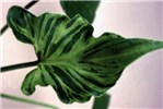 Systemic symptoms on DsMV-infected Philodendron sellom (distortion and interveinal streaking).