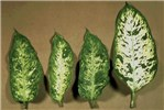 Systemic symptoms on DsMV-infected Dieffenbachia 'Exotica' (distortion and mosaic).