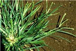 E. indica plant (Ethiopia): a tufted annual grass with leaves up to 8 mm x  15 cm, glabrous, usually bright, fresh green in colour.
